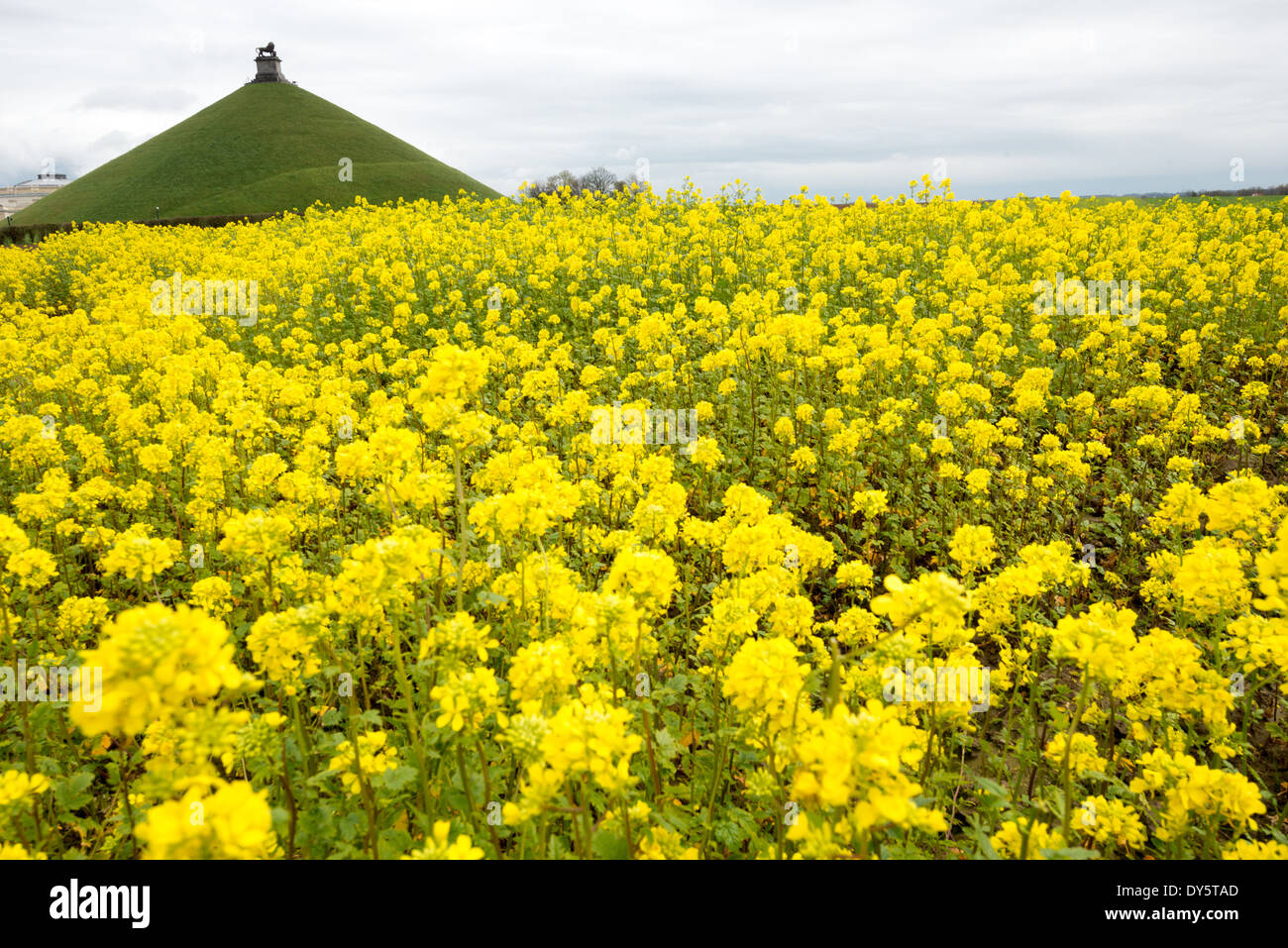 Yellow wildflowers grow in a field where the battle of waterloo was yellow wildflowers grow in a field where the battle of waterloo was fought on june 18 1815 in the background is the lions mound butte du lion mightylinksfo