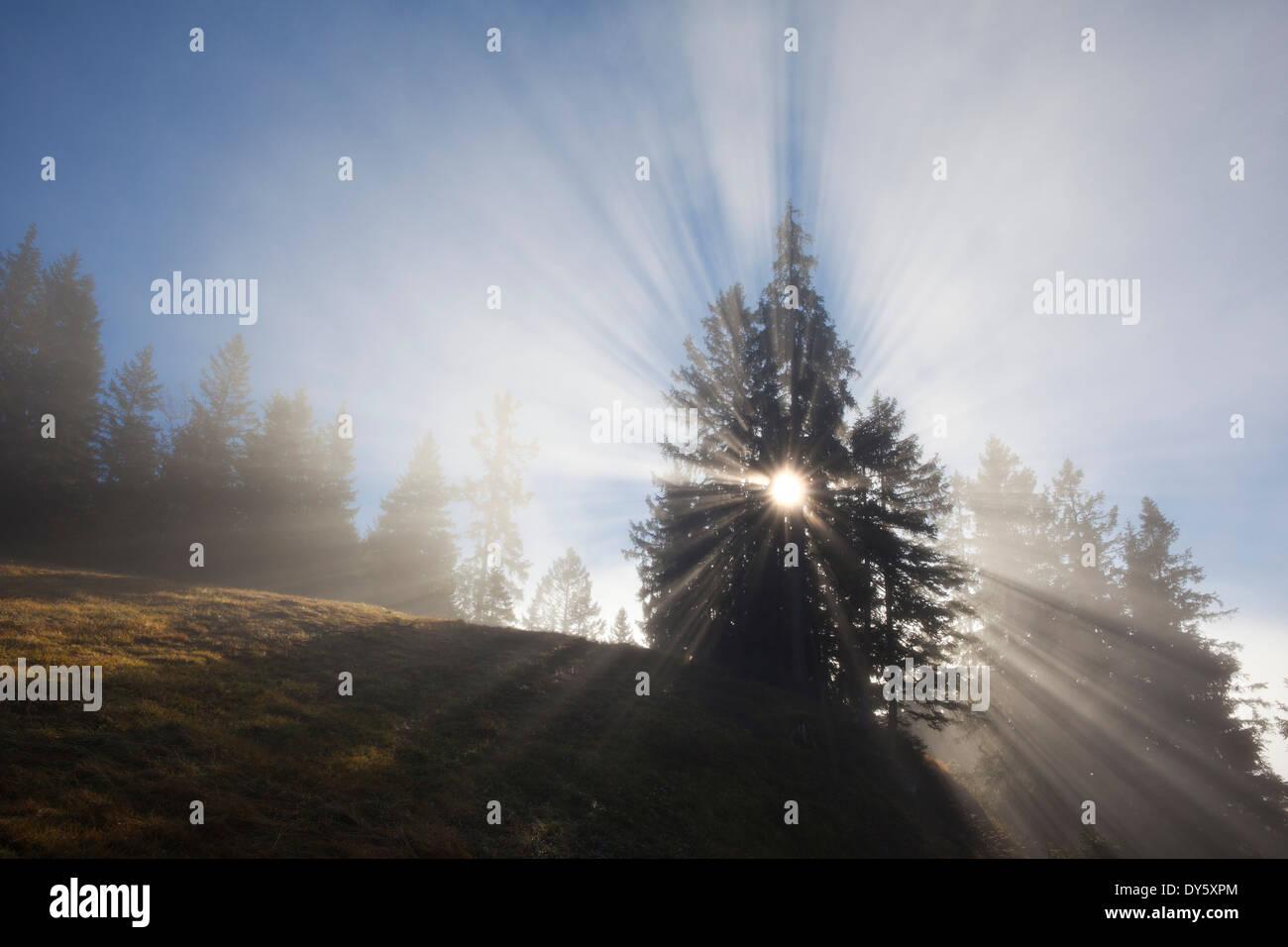 Spruces in the fog, Berchtesgaden region, Berchtesgaden National Park, Upper Bavaria, Germany, Europe - Stock Image