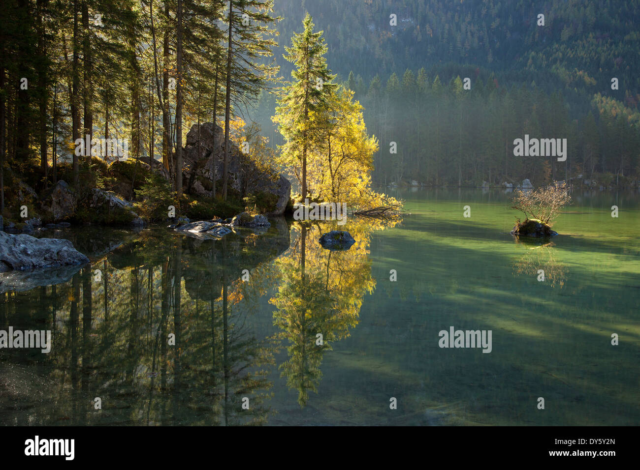 Spruces at the shore of lake Hintersee, Ramsau, Berchtesgaden region, Berchtesgaden National Park, Upper Bavaria, Germany, Europ - Stock Image