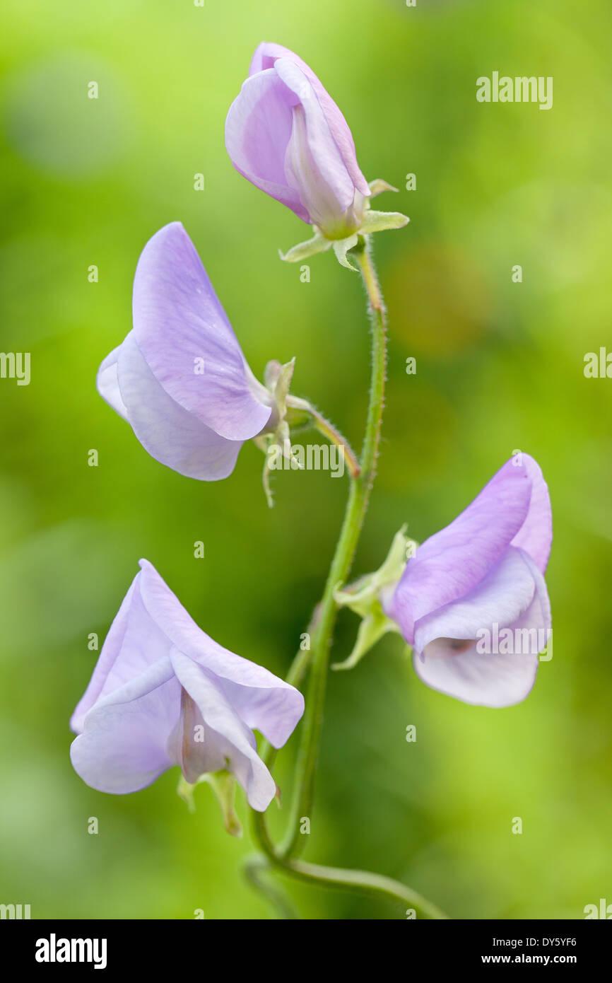 Close up of Lathyrus odoratus Lady Grisel Hamilton, Sweet Pea. Summer. Lilac/purple scented flower. Stock Photo