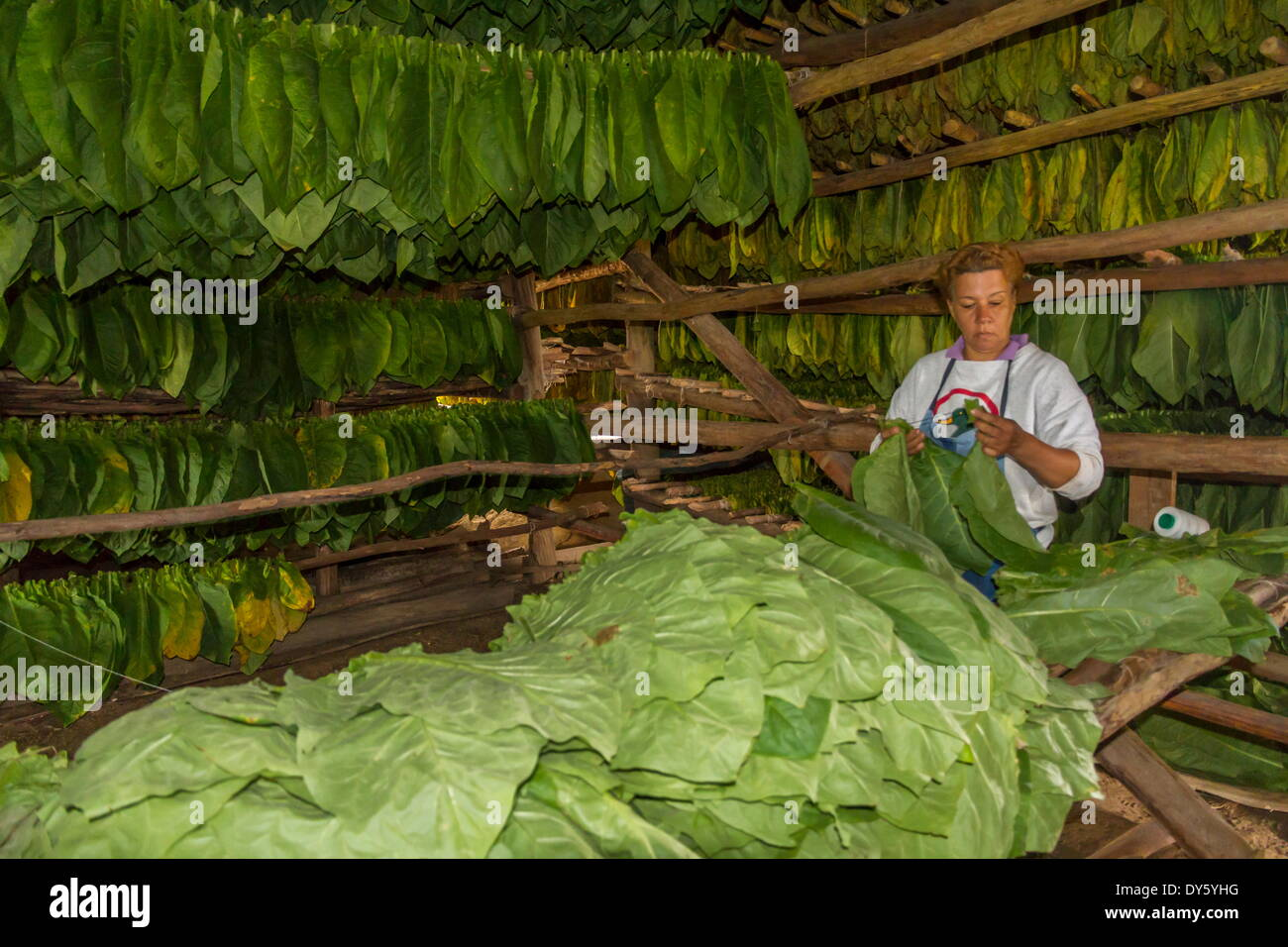 Tobacco drying shed, Pinar del Rio, Cuba, West Indies, Caribbean, Central America Stock Photo