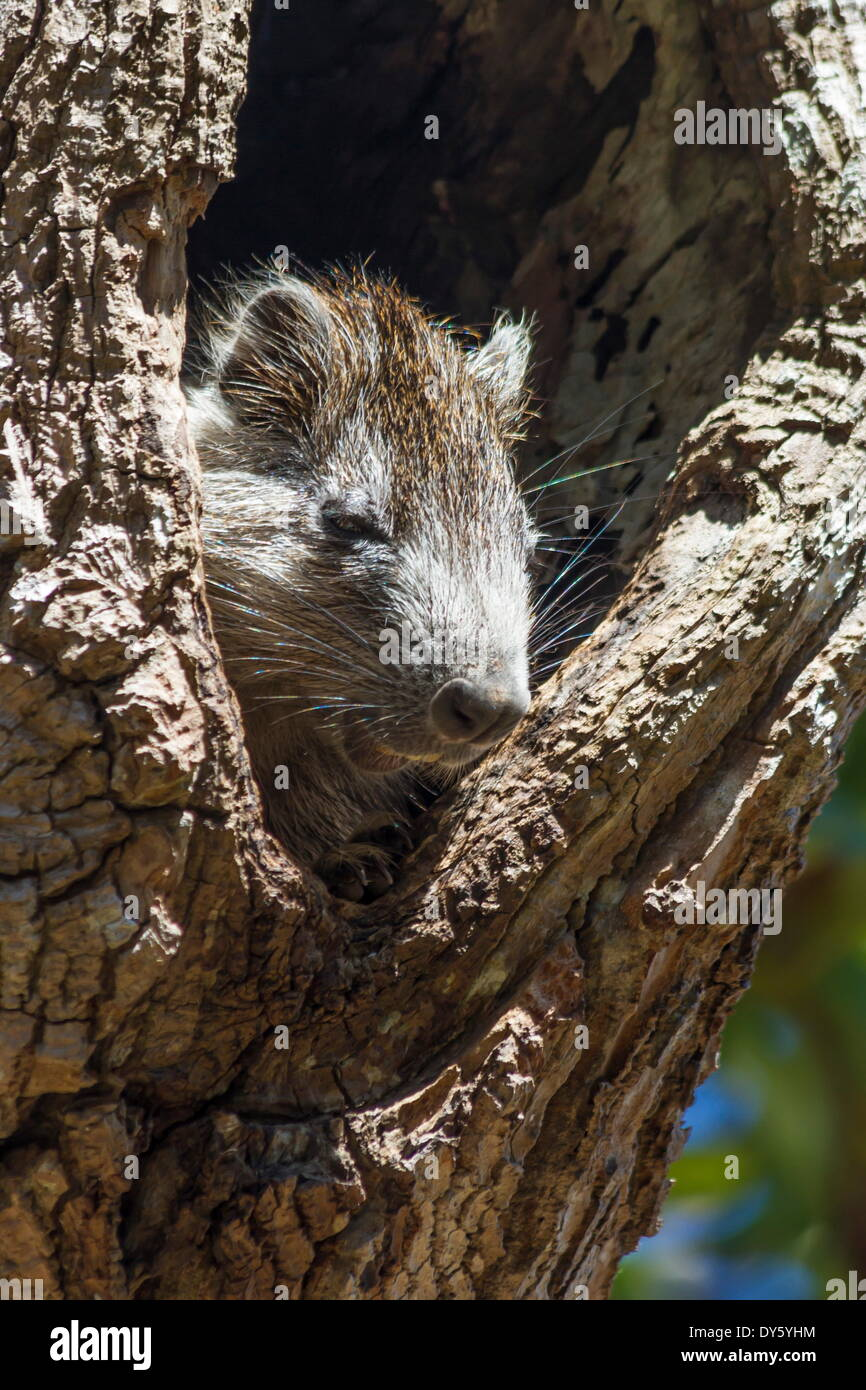 Tree rat (Desmarest's Hutia), Cuba, West Indies, Caribbean, Central America - Stock Image