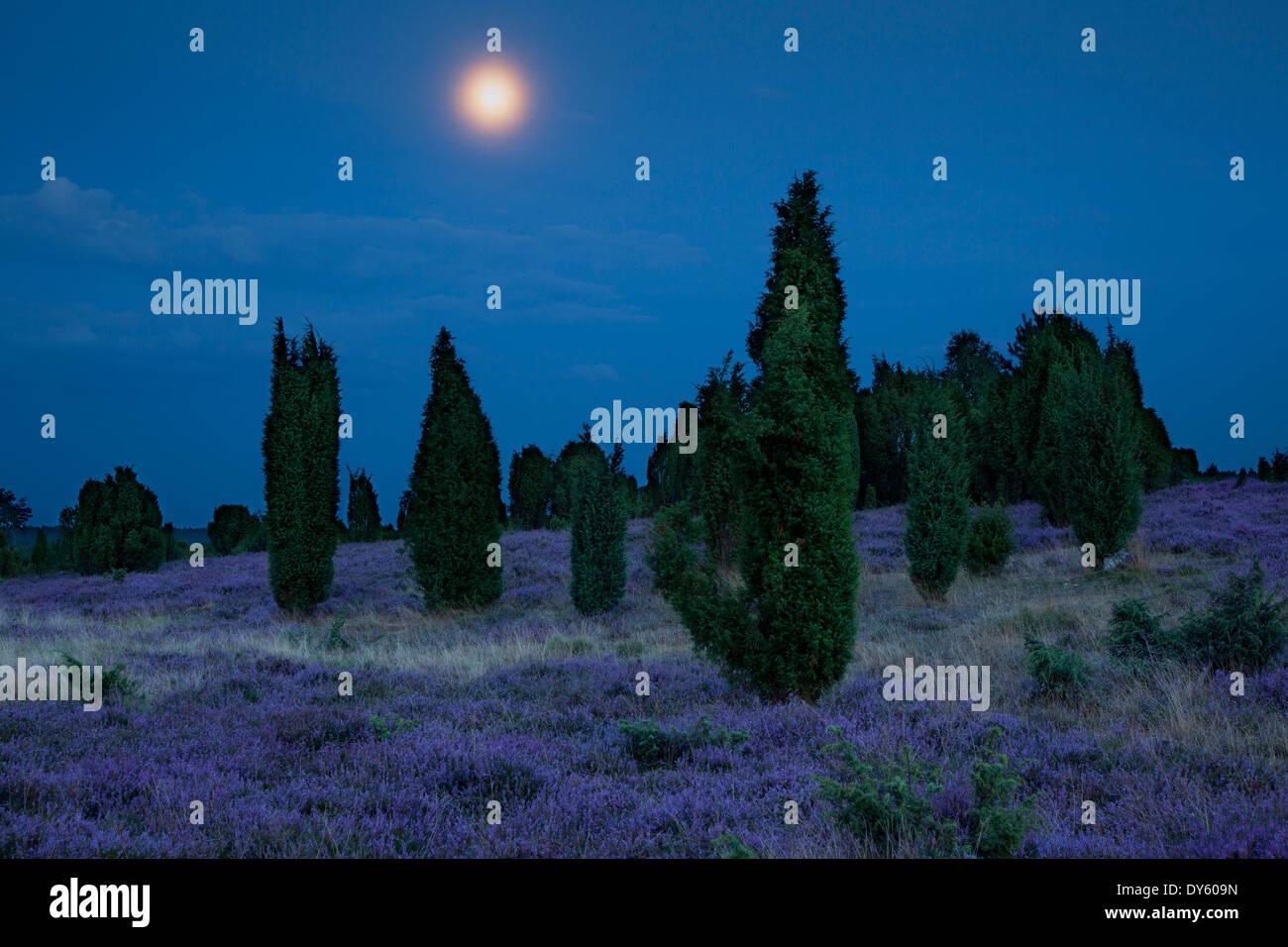 170dfbfbc0 Juniper and heather at moonlight, Lueneburger Heide, Lower Saxony, Germany