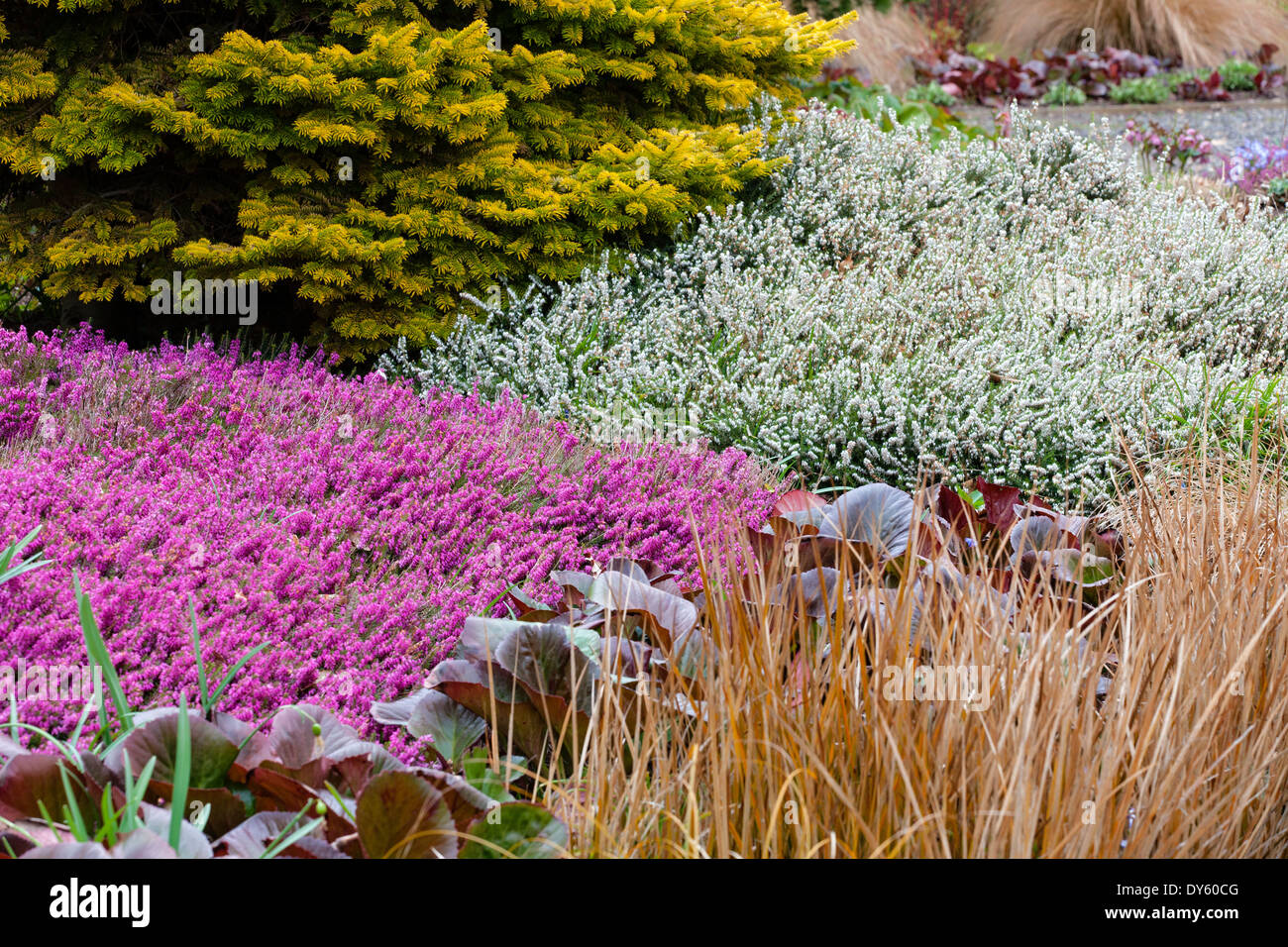 Winter plant association with conifer and heathers. April. - Stock Image