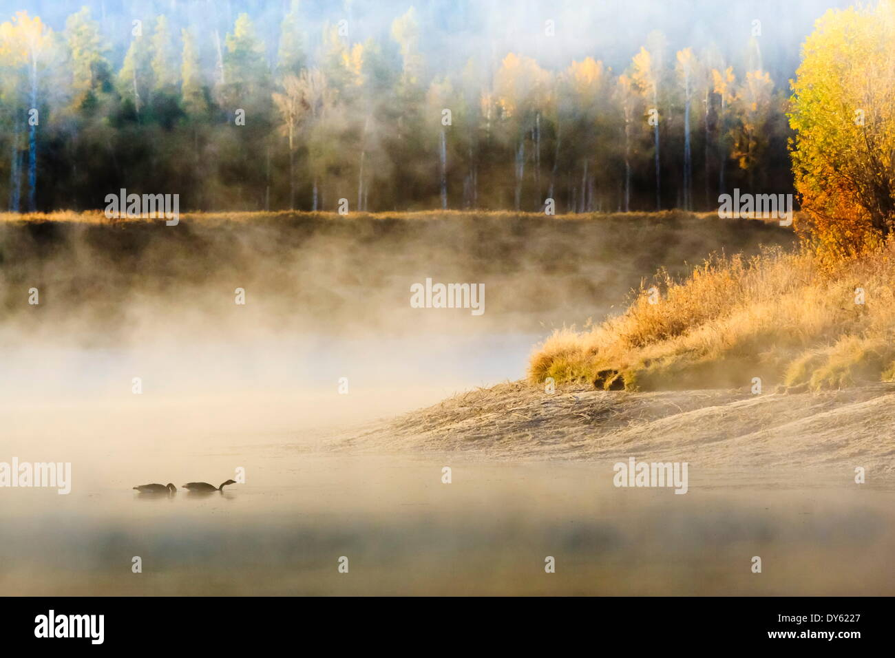 Wildfowl on Snake River surrounded by a cold dawn mist, autumn (fall), Grand Teton National Park, Wyoming, USA - Stock Image