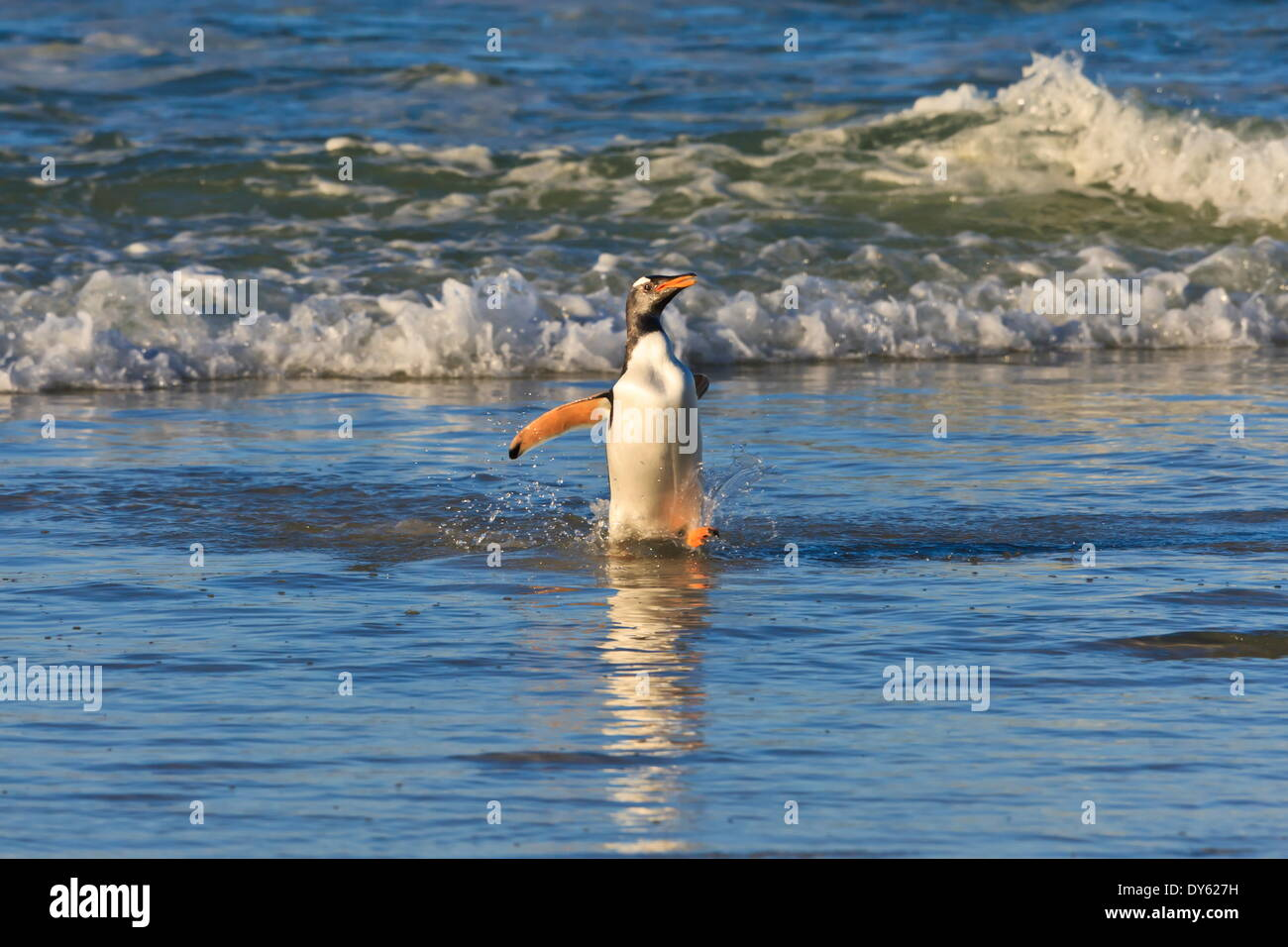 Gentoo penguin (Pygoscelis papua) emerges from the sea in late afternoon light, The Neck, Saunders Island, Falkland Islands - Stock Image