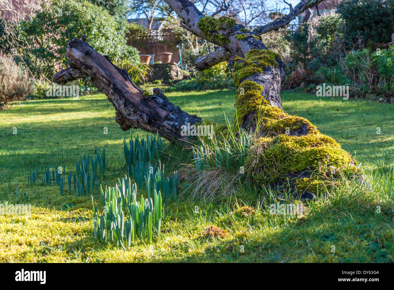 Daffodils growing in garden under old apple tree in spring. First of sequence of 10 (ten) images photographed over five weeks. - Stock Image