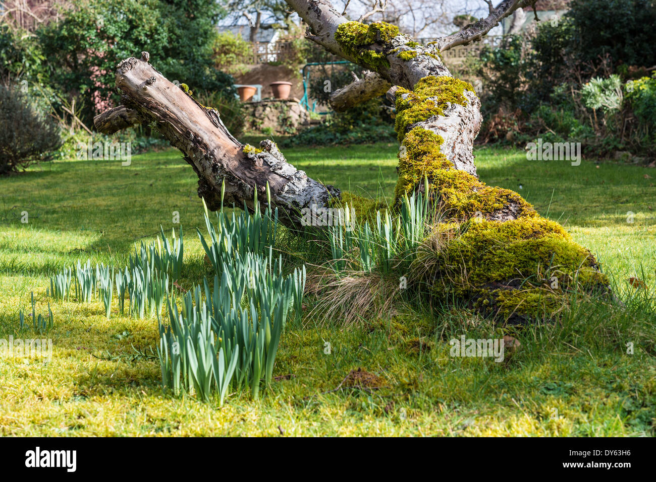 Daffodils growing in garden under old apple tree in spring. Second of sequence of 10 (ten) images photographed over five weeks. - Stock Image