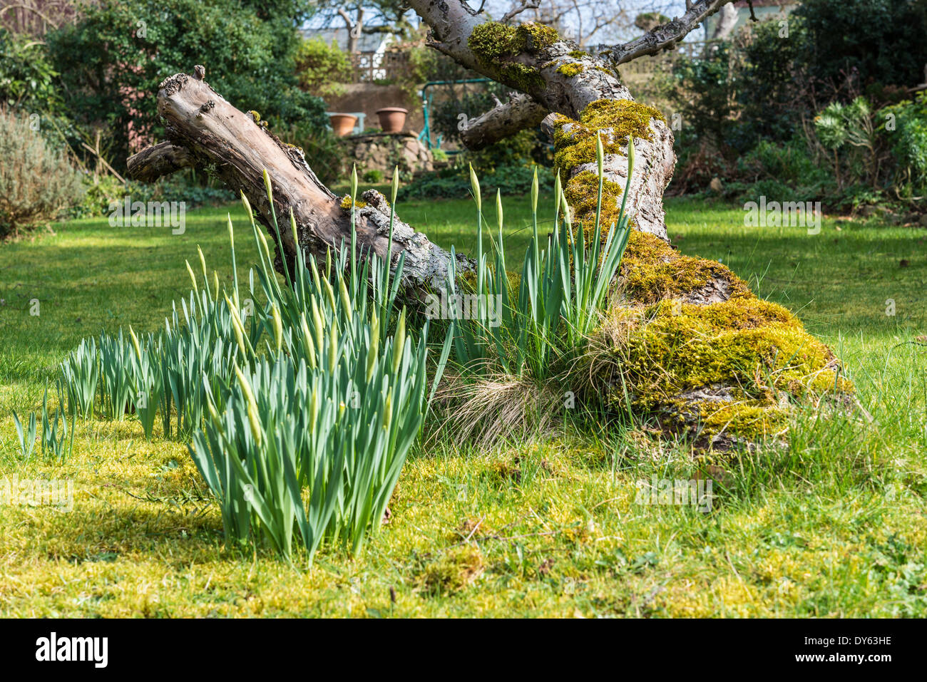 Daffodils growing in garden under old apple tree in spring. Third of sequence of 10 (ten) images photographed over five weeks. - Stock Image