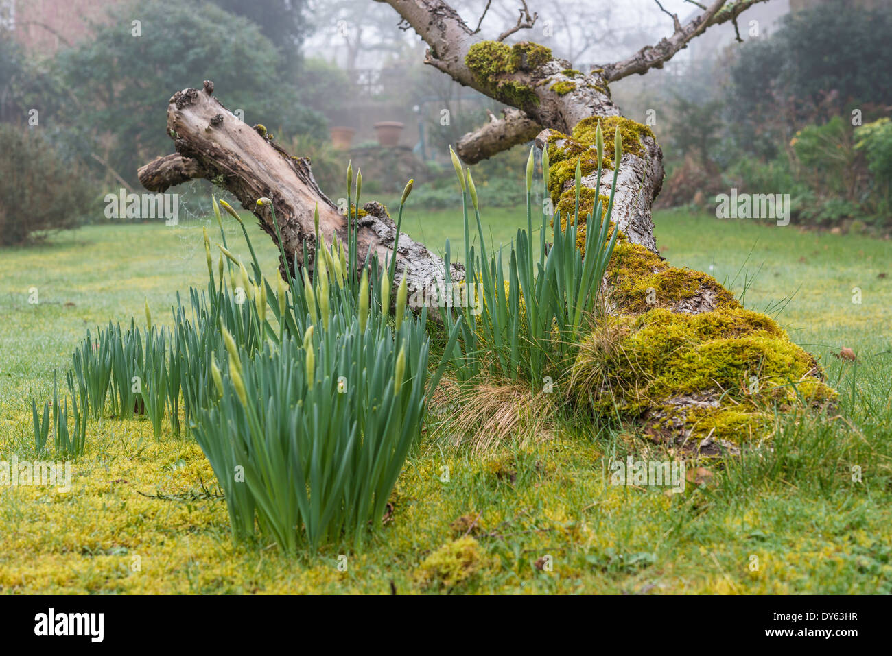 Daffodils growing in garden under old apple tree in spring. Fourth of sequence of 10 (ten) images photographed over five weeks. - Stock Image