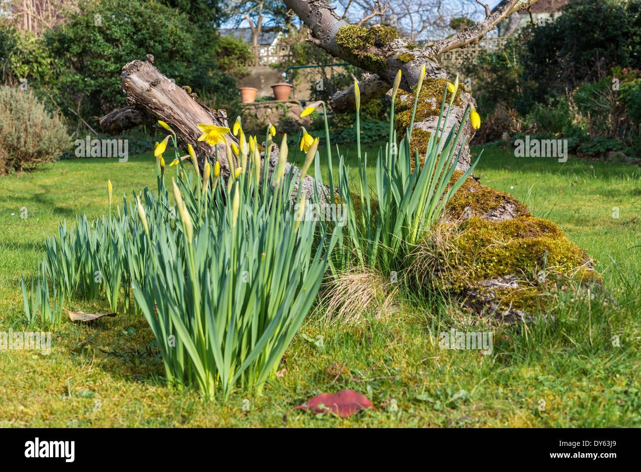 Daffodils growing in garden under old apple tree in spring. Fifth of sequence of 10 (ten) images photographed over five weeks. - Stock Image