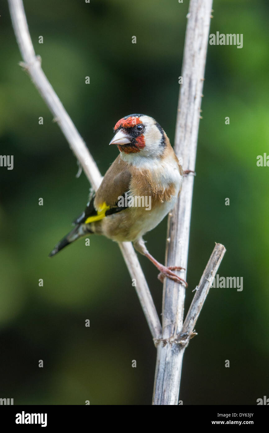 European Goldfinch (Carduelis carduelis) perching on the stem of a Teasel (Dipsacus fullonum) - Stock Image