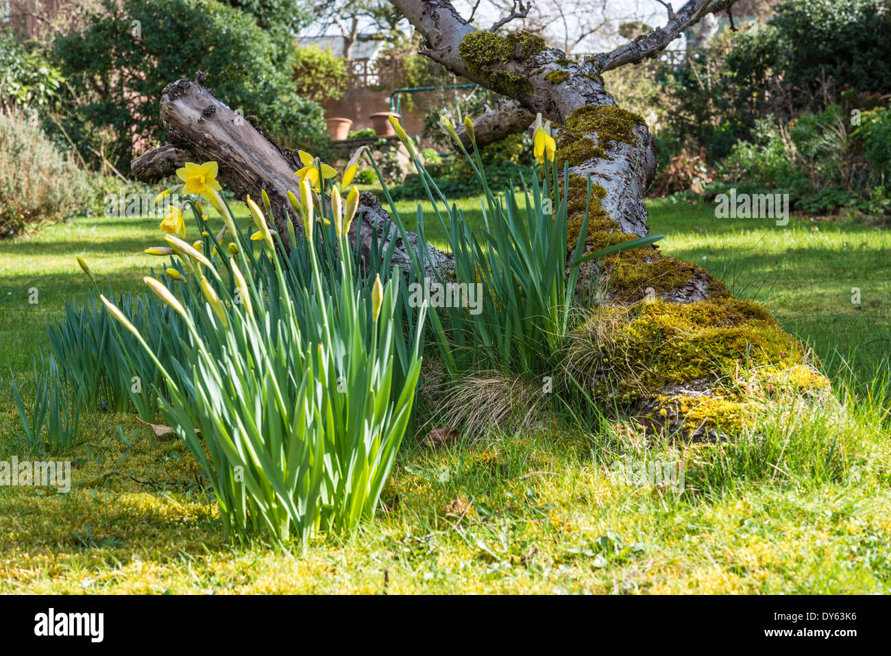 Daffodils growing in garden under old apple tree in spring. Sixth of sequence of 10 (ten) images photographed over five weeks. - Stock Image