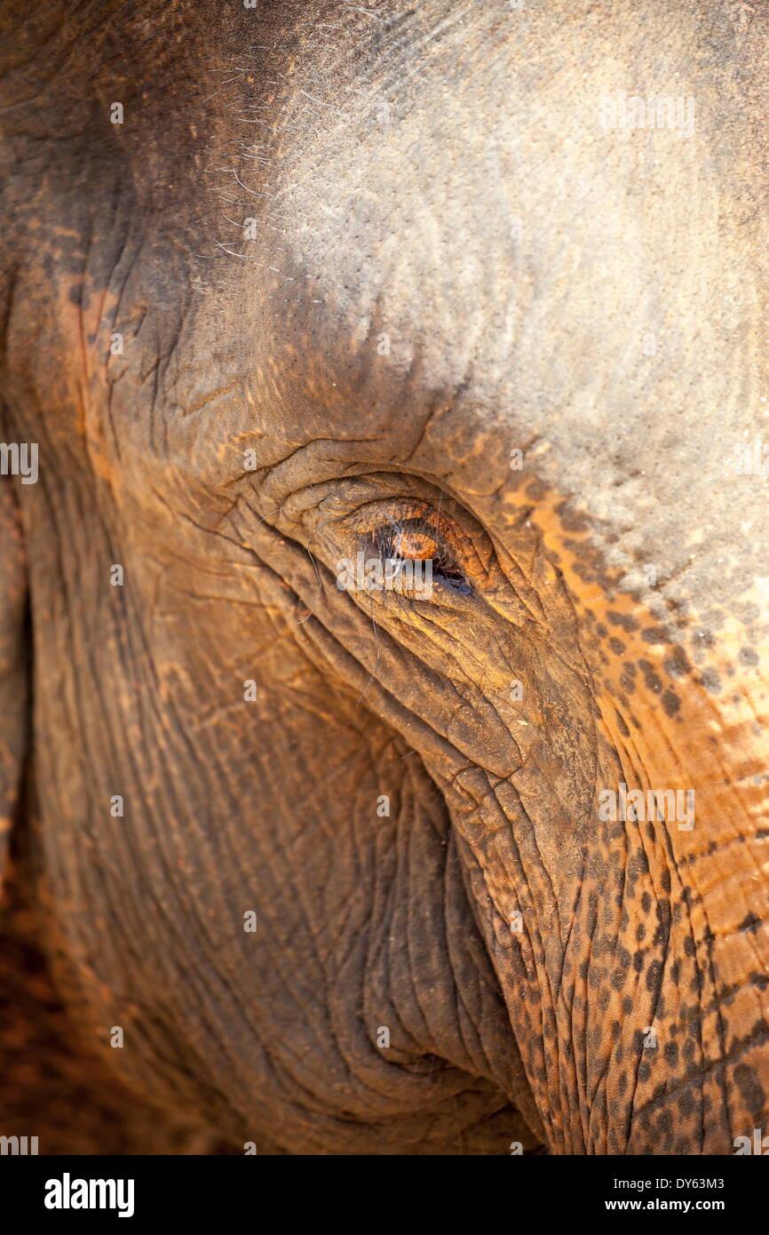 Close up of a adult elephant's (Elephantidae) eye and crinkled skin, Pinnewala Elephant Orphanage, Sri Lanka, Asia - Stock Image