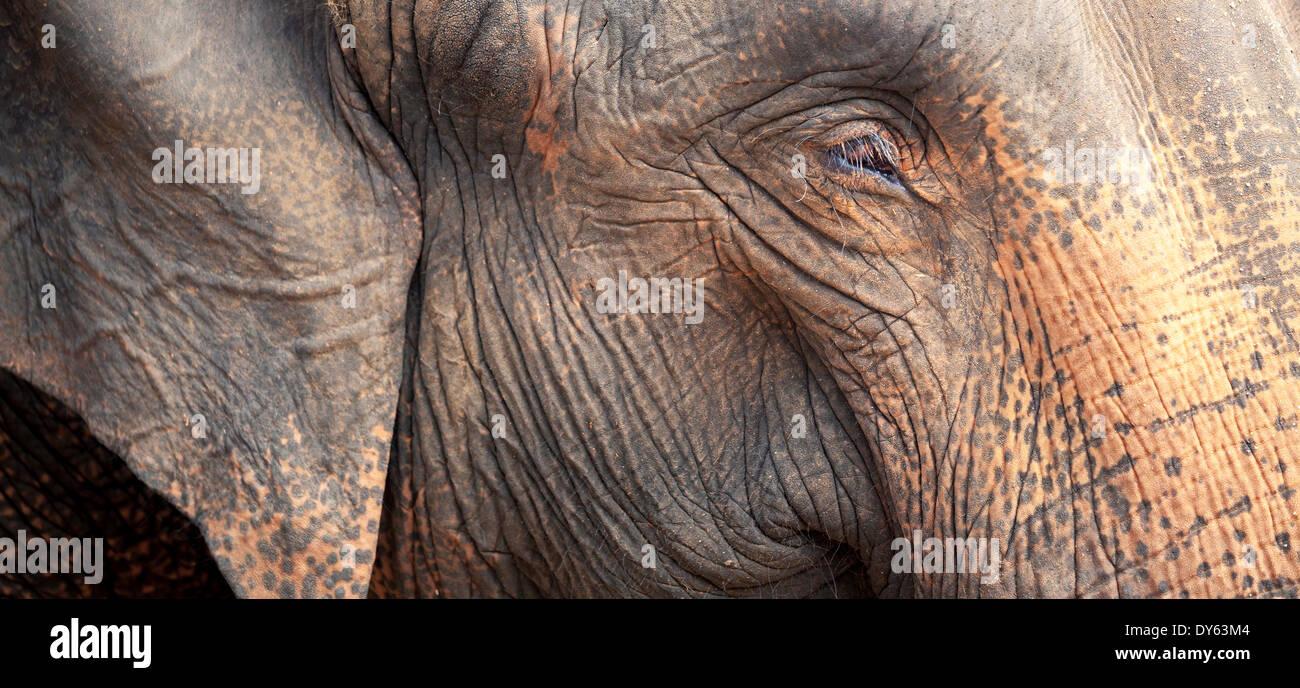 Close up of a adult elephant's (Elephantidae) head and crinkled skin, Pinnewala Elephant Orphanage, Sri Lanka, Asia - Stock Image