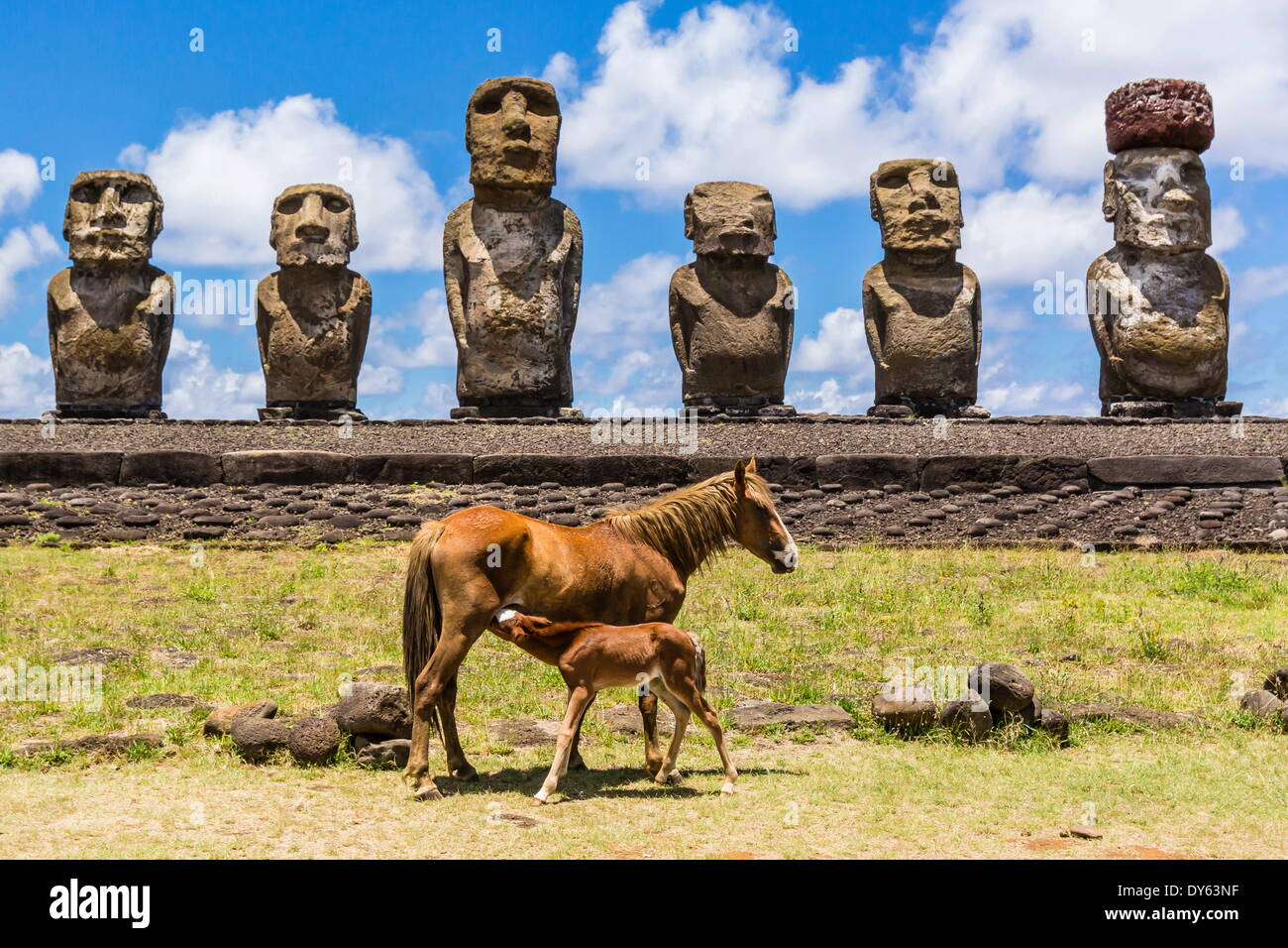 Mare nursing foal at the restored ceremonial site of Ahu Tongariki on Easter Island (Rapa Nui), UNESCO Site, Chile - Stock Image