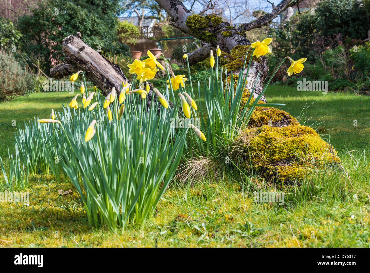 Daffodils growing in garden under old apple tree in spring. Seventh of sequence of 10 (ten) images photographed over five weeks. - Stock Image