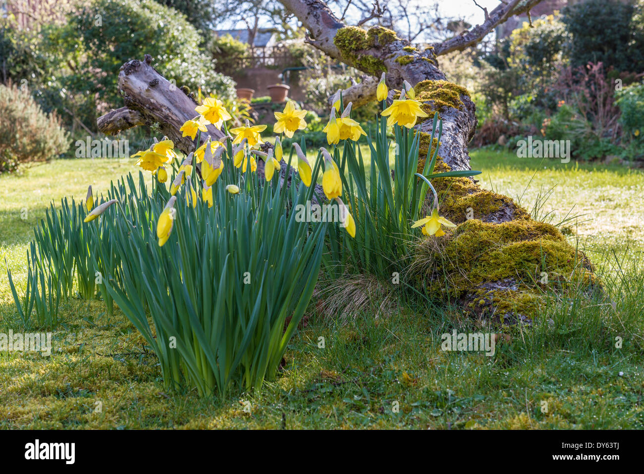 Daffodils growing in garden under old apple tree in spring. Eighth of sequence of 10 (ten) images photographed over five weeks. - Stock Image