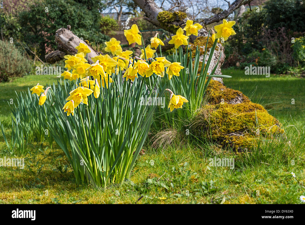 Daffodils growing in garden under old apple tree in spring. Ninth of sequence of 10 (ten) images photographed over five weeks. - Stock Image
