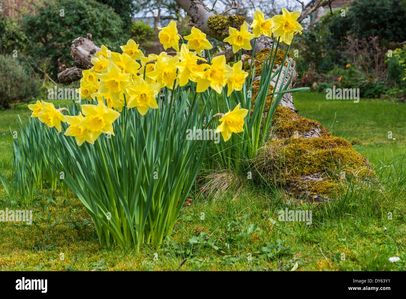 Daffodils growing in garden under old apple tree in spring. Tenth of sequence of 10 (ten) images photographed over five weeks. - Stock Image