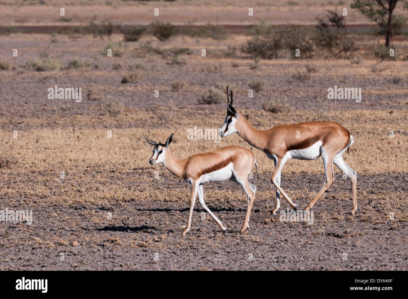 Springbok (Antidorcas marsupialis), Central Kalahari National Park, Botswana, Africa - Stock Image
