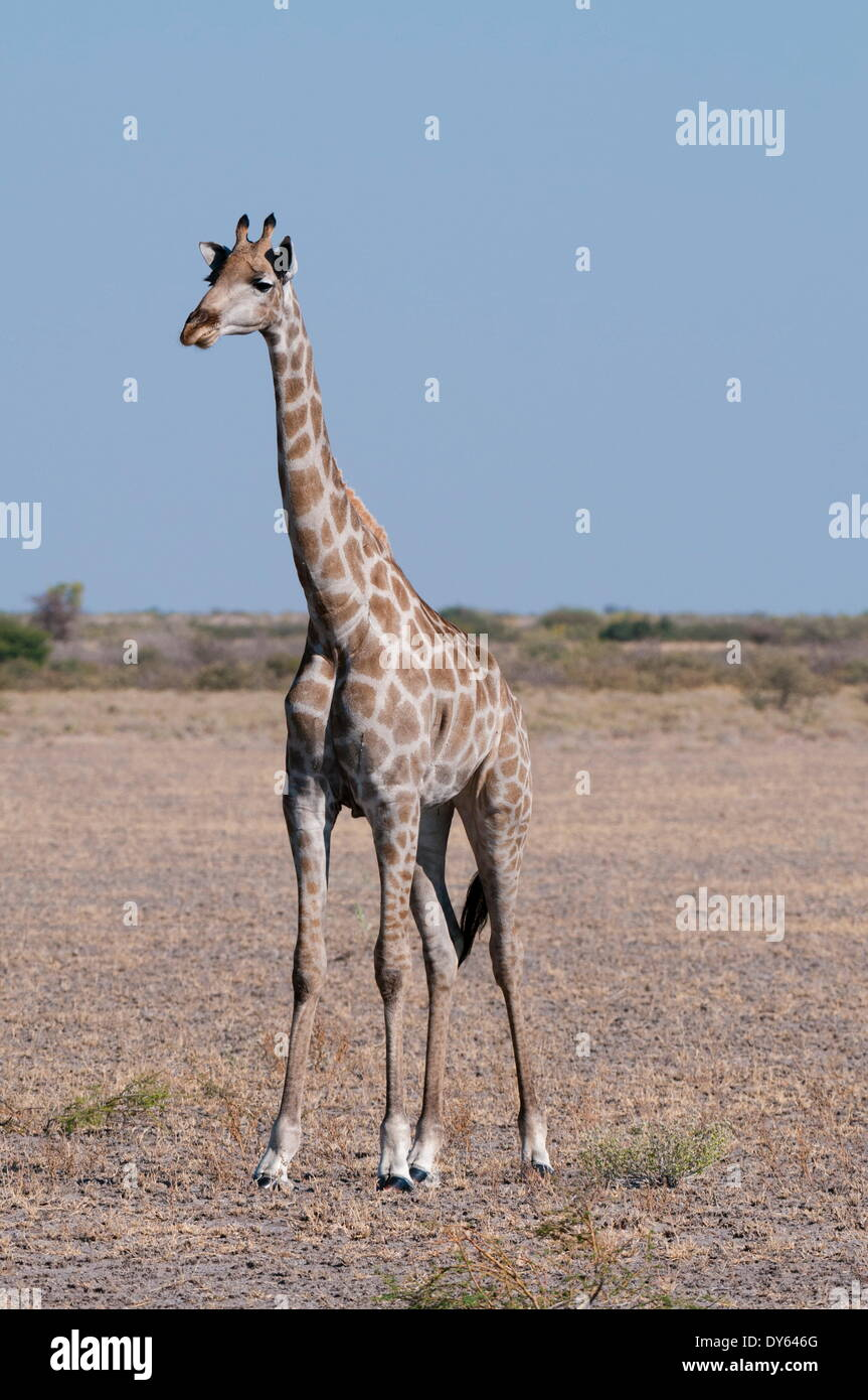 Southern giraffe (Giraffa camelopardalis), Central Kalahari National Park, Botswana, Africa - Stock Image
