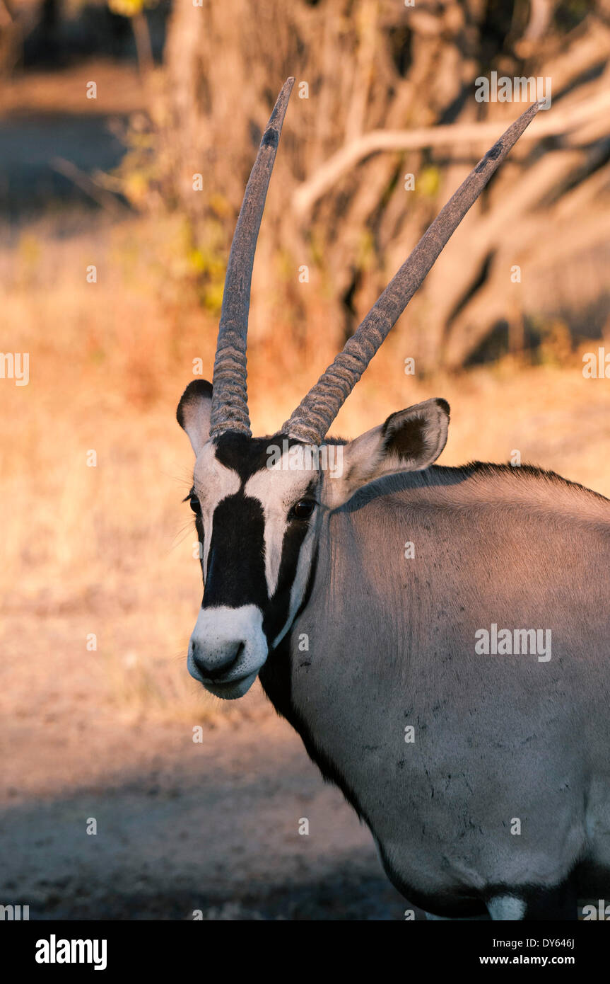 Gemsbok (Oryx gazella), Central Kalahari National Park, Botswana, Africa - Stock Image