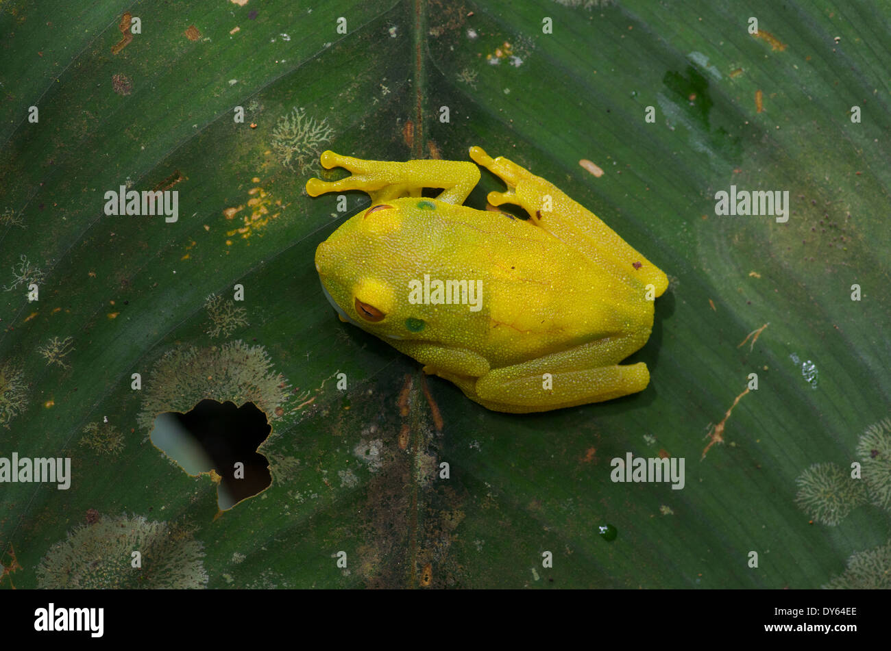 A Rough-skinned Green Treefrog (Hypsiboas cinerascens) sleeping by day on a vertical leaf in the Amazon basin in Peru. - Stock Image