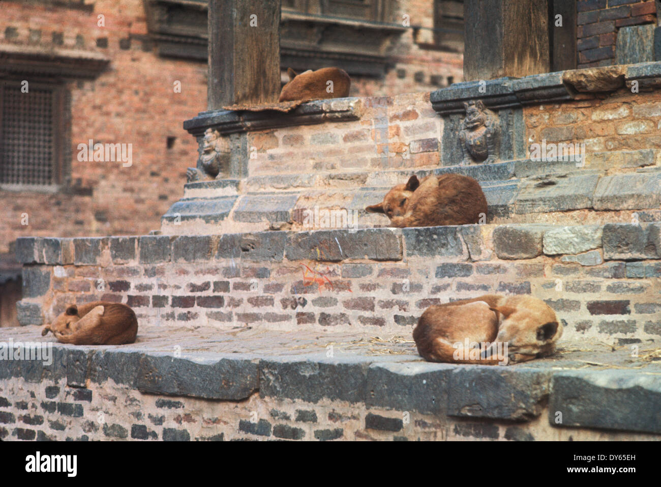 pi dogs sleep on steps of temple in Katmandu Nepal - Stock Image