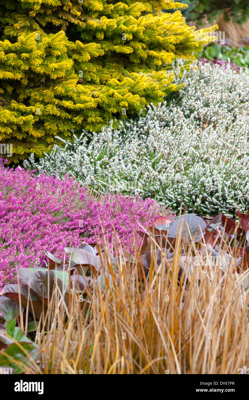 Winter plant association with conifer and heathers. - Stock Image