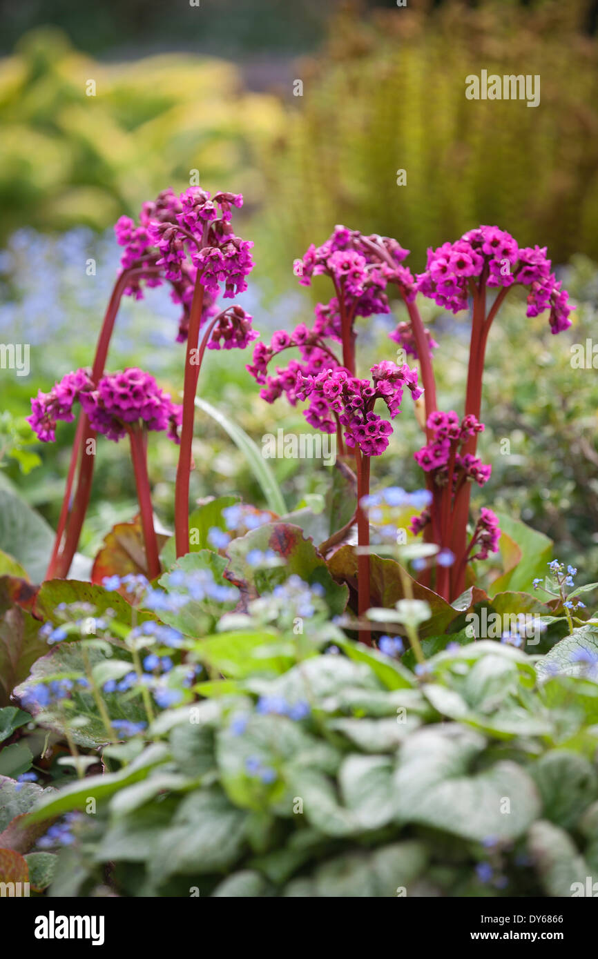 Bergenia eroica elephants ear megasea perennial bright pink bergenia eroica elephants ear megasea perennial bright pink flowers in mixed spring border mightylinksfo