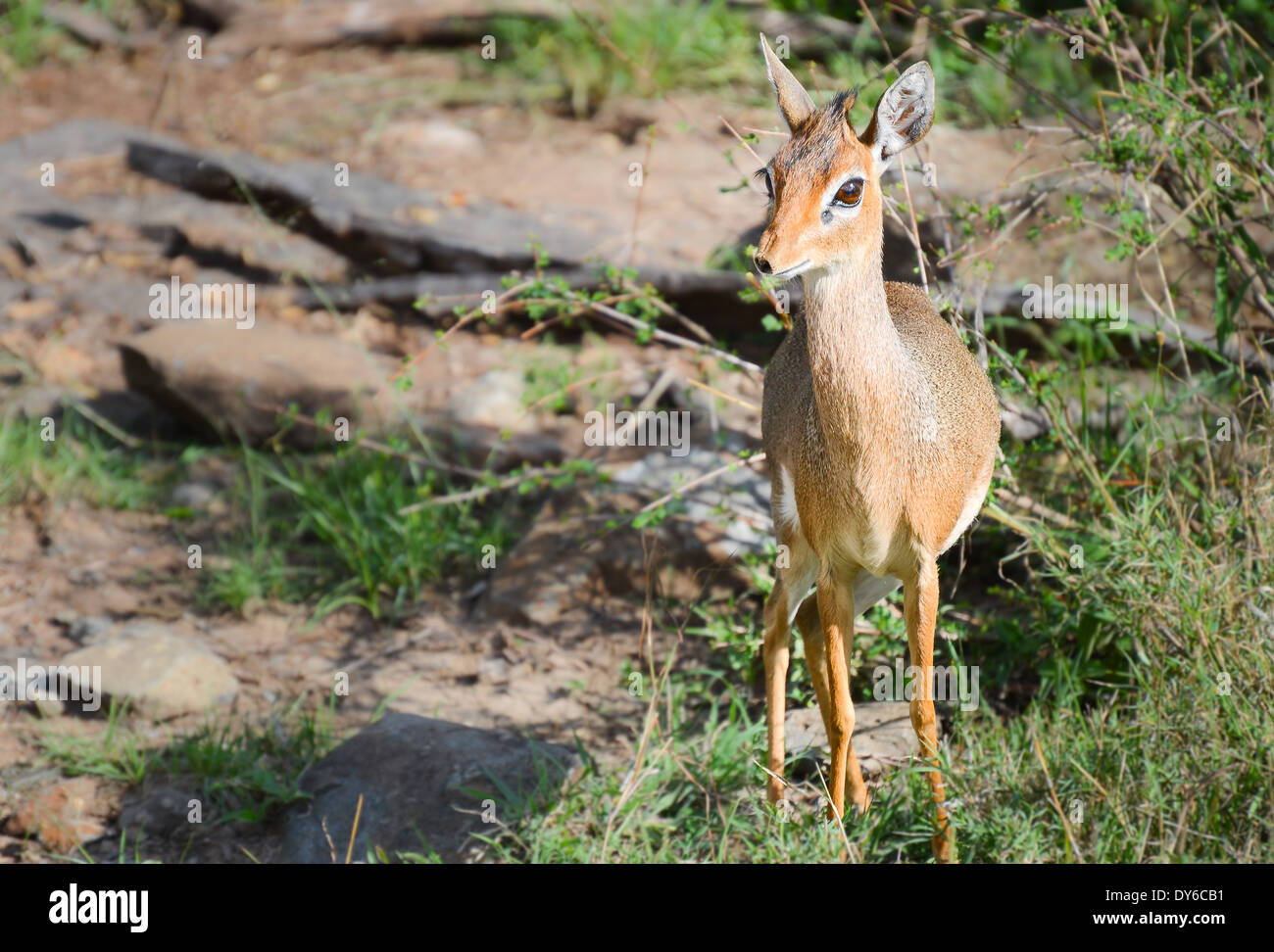 Dik-dik tentatively looks on in the Masai Mara - Stock Image
