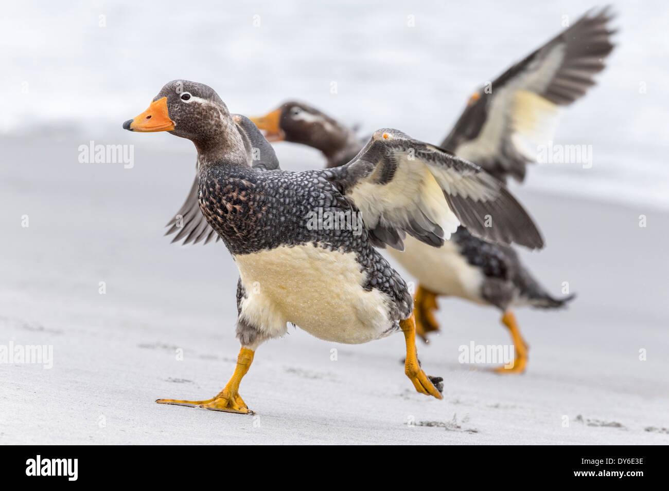 Falklands Flightless Steamer Duck - Stock Image