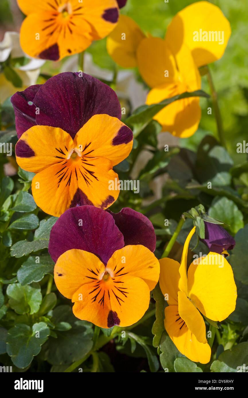 Viooltjes (Viola) Colourful pansies, Viola cultivars in flower in garden in spring - Stock Image