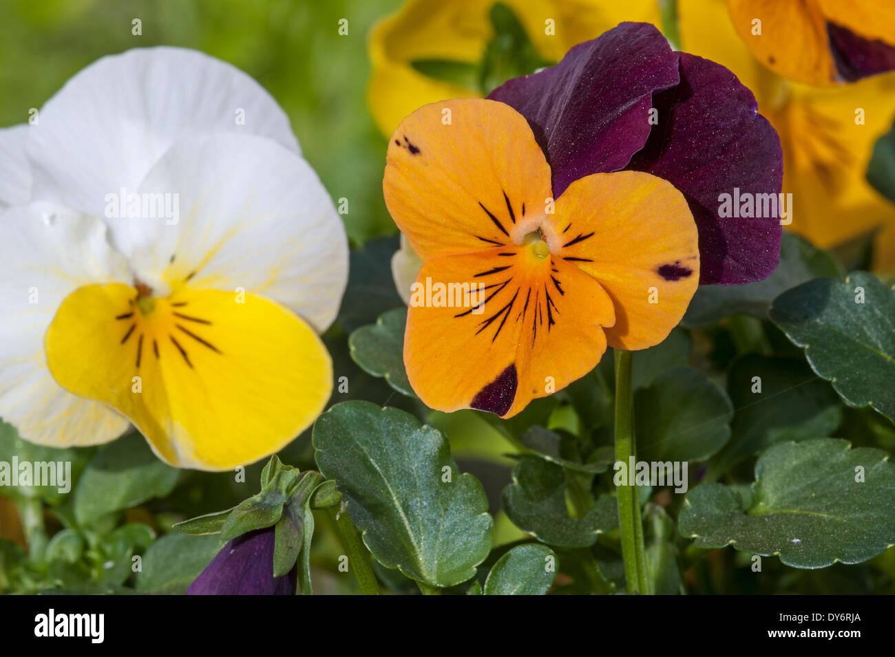 Colourful pansies, Viola cultivars in flower in garden in spring - Stock Image