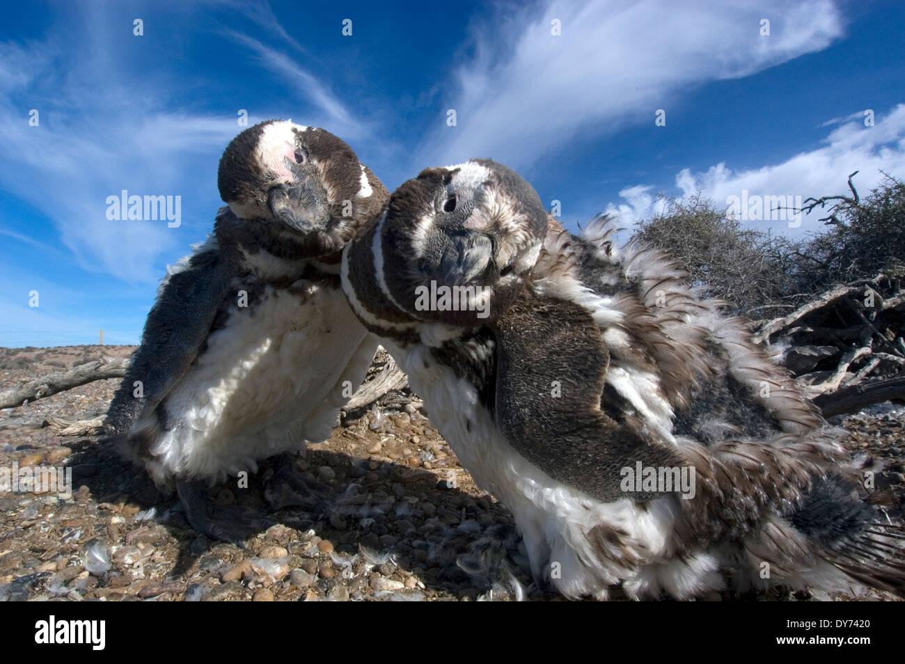 Two Magellanic Penguins, Spheniscus magellanicus, in the Punta Tombo Penguin Colony, Rawson, Argentina Stock Photo