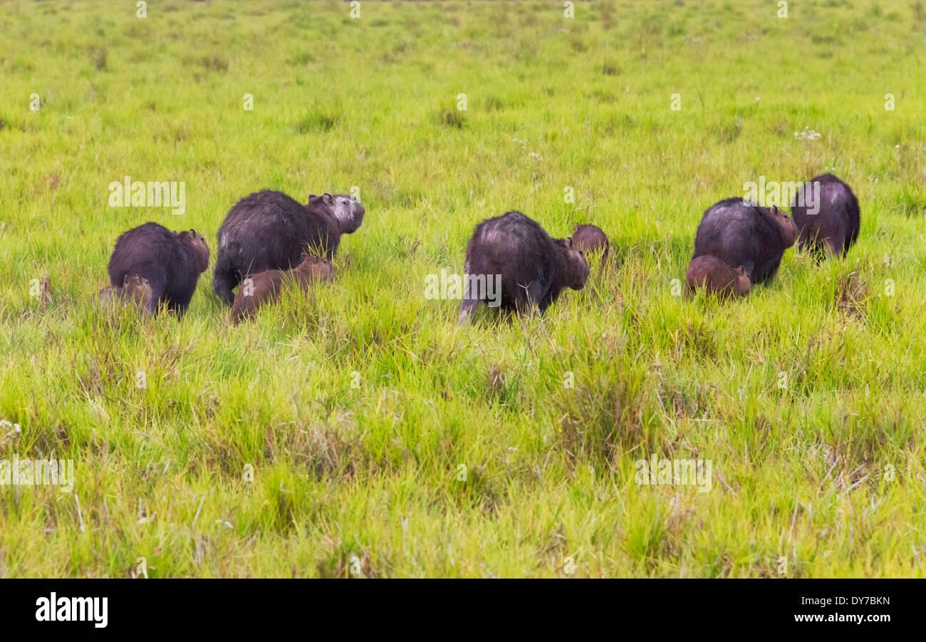 Capybaras (Hydrochoerus hydrochaeris) on the plain , Los Llanos, Venezuela - Stock Image