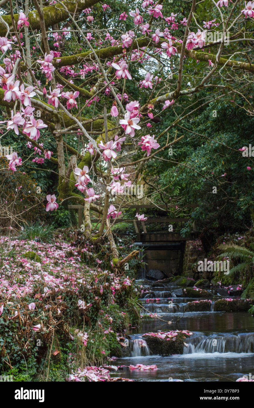 Magnolia Tree with petals falling on the bank and in the stream Stock Photo