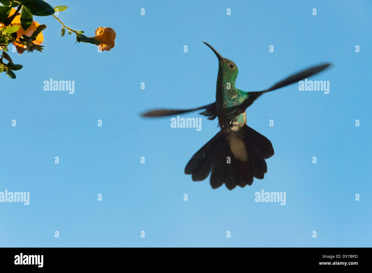 Hummingbird, Venezuela - Stock Image
