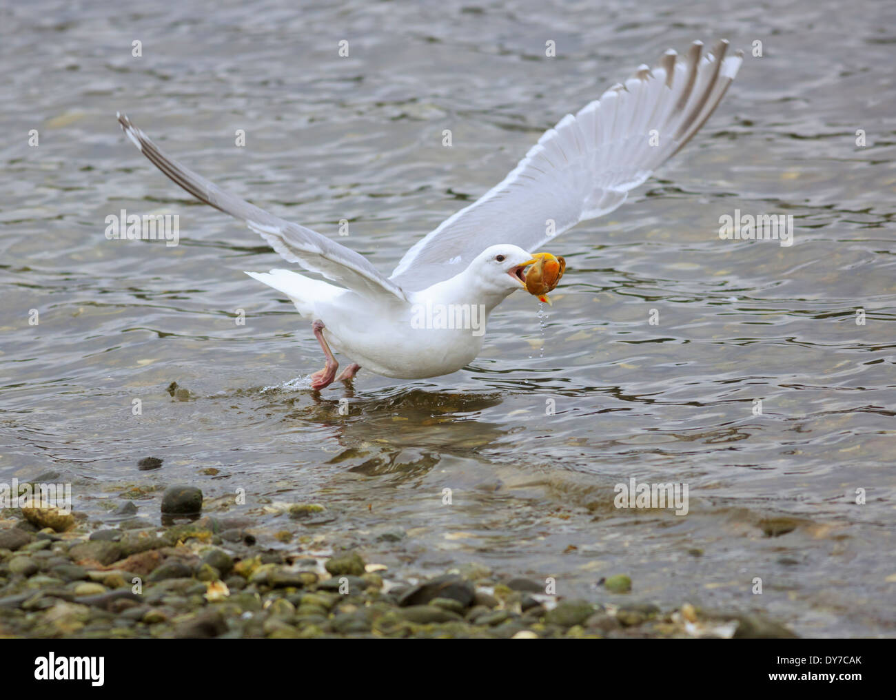 Glaucous-winged gull, Larus glaucescens, takes off with a shell in its beak - Stock Image
