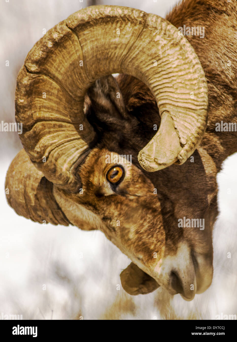 Bighorn Sheep, Ovis Canadensis, Lamar Valley, Yellowstone National Park, Wyoming, USA - Stock Image