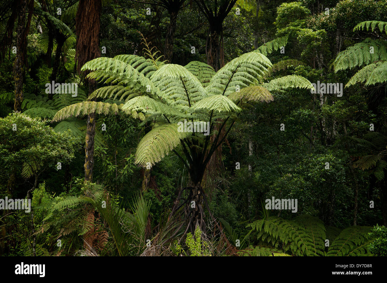 Ponga fern growing in a forest in Whangerei, New Zealand. - Stock Image