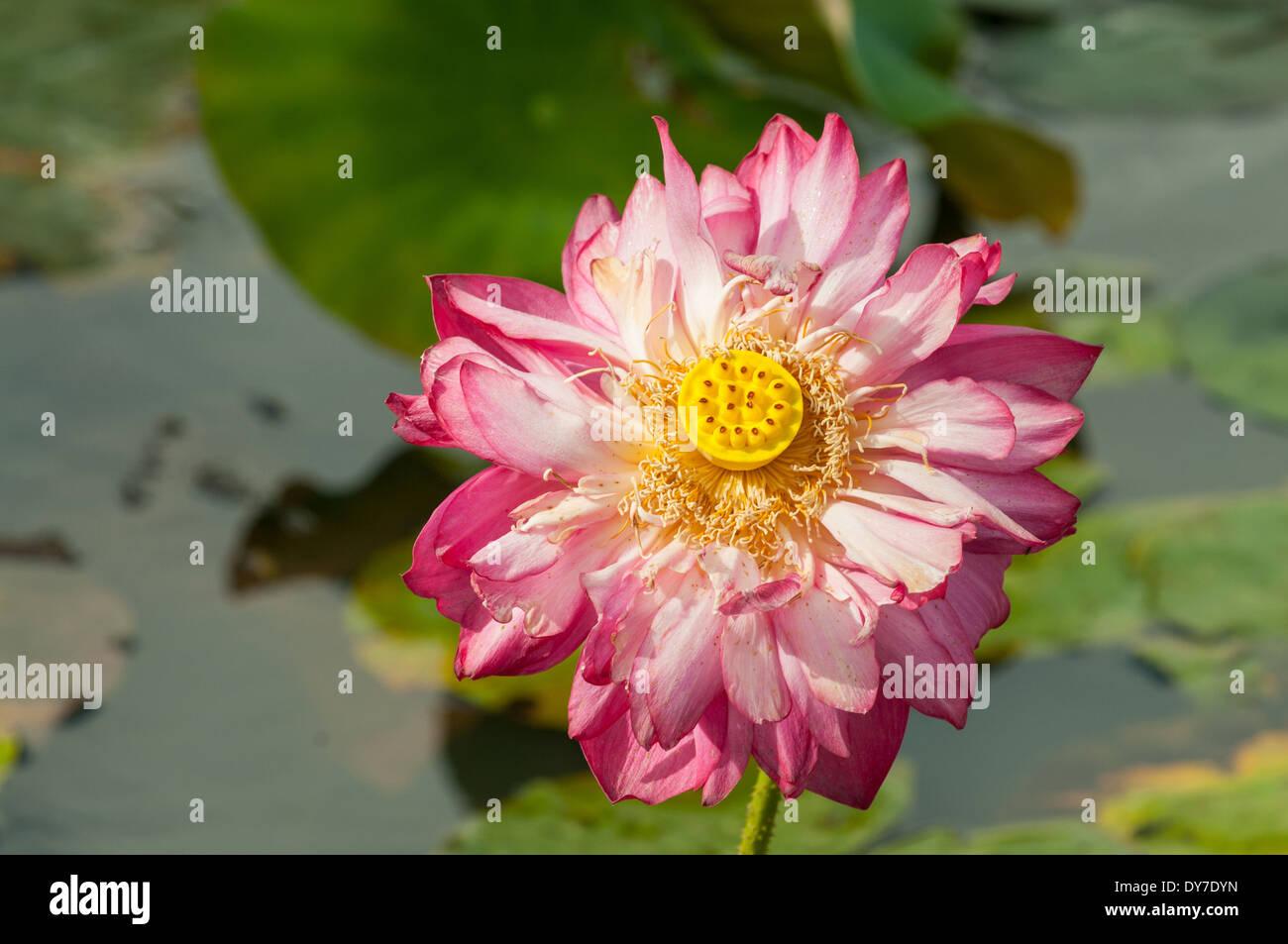 Nelumbo Cochrane's Red Lite Lotus - Stock Image