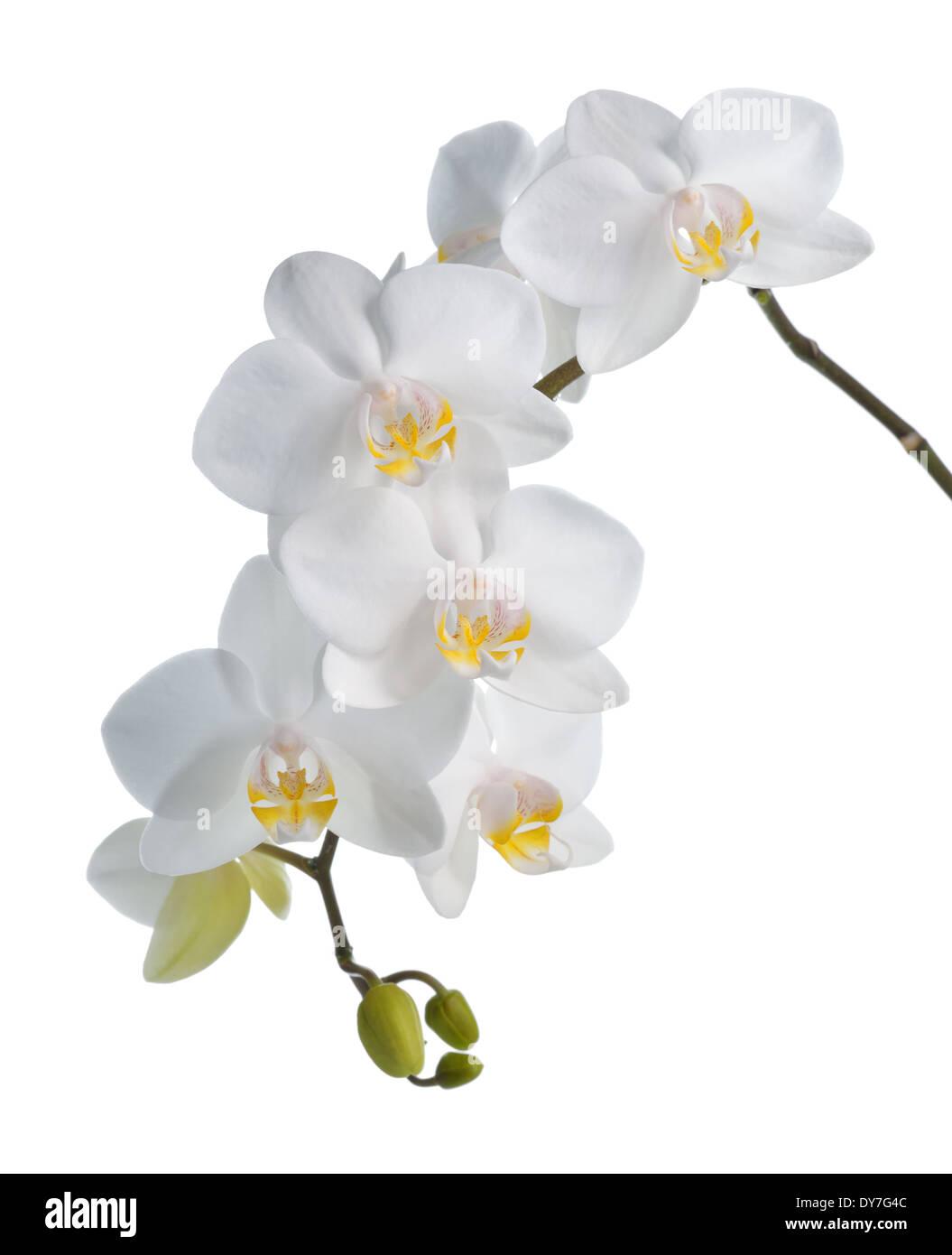 White orchid phalaenopsis isolated on white background. Tropical white flowers. - Stock Image