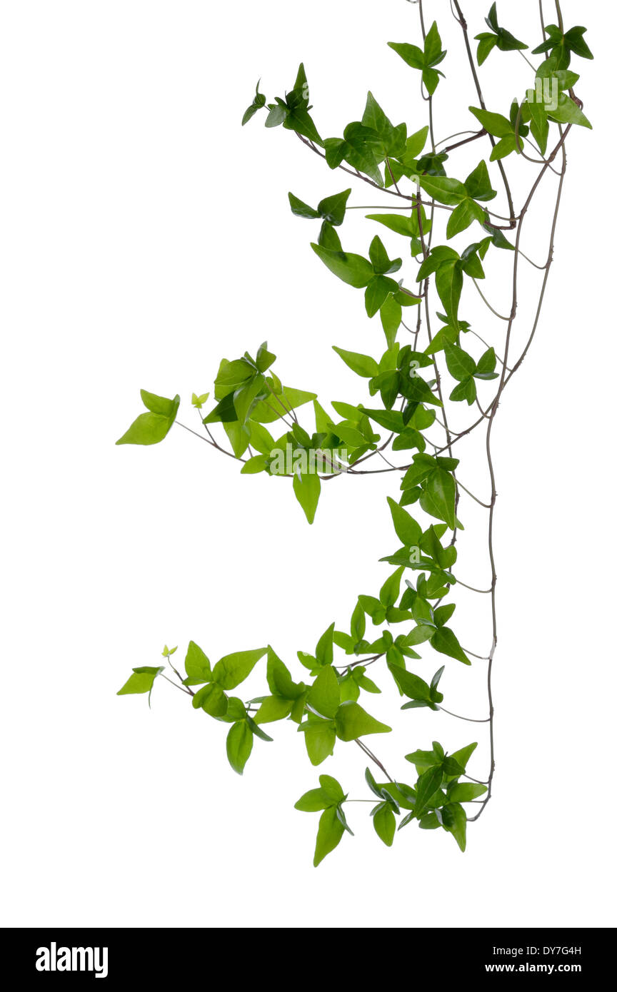 Few dense ivy (Hedera) stems isolated on white background. Creeper Ivy stem with young green leaves. - Stock Image