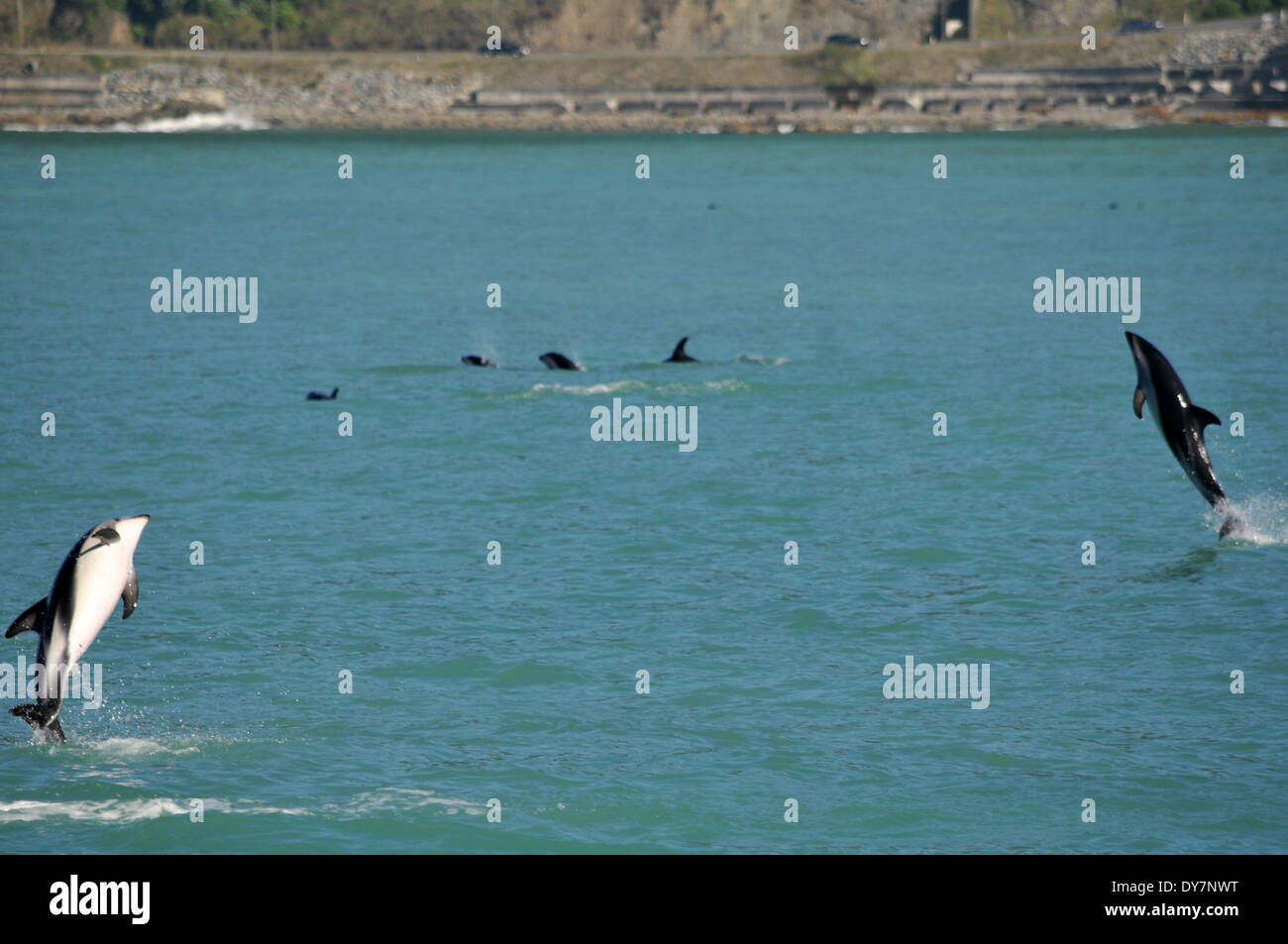 Dusky dolphins, Lagenorhynchus obscurus, jumping, Kaikoura, South Island, New Zealand - Stock Image