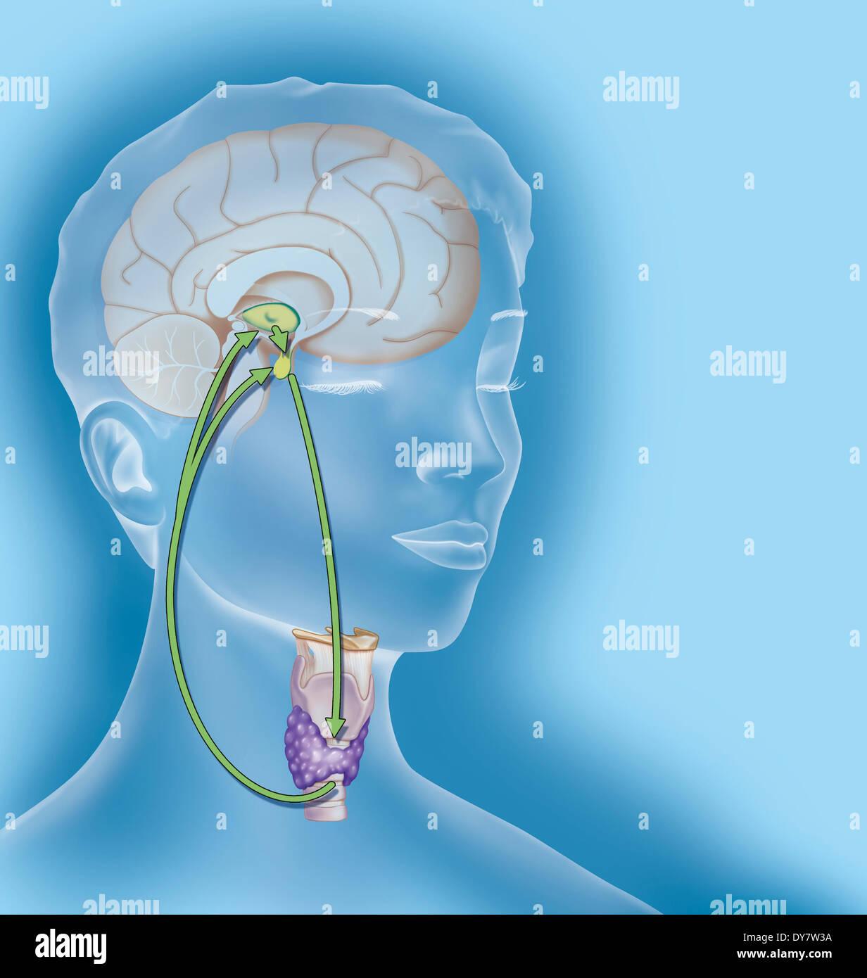 Thyroid regulation, illustration - Stock Image