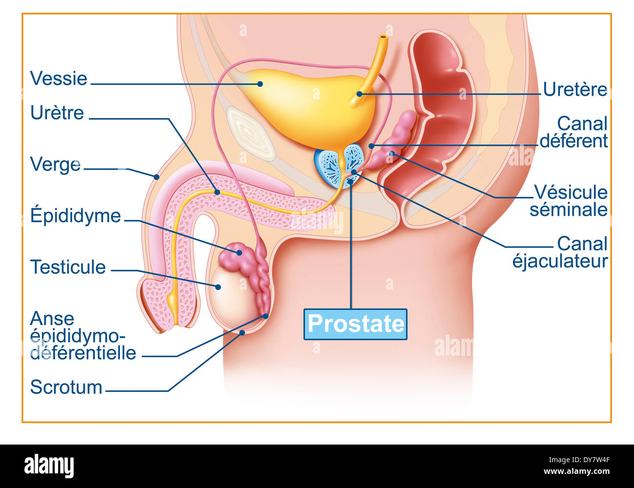 Male Genital System Drawing Stock Photo 68400207 Alamy