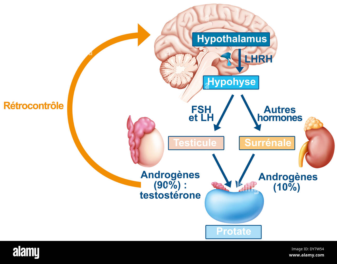 Hormone cycle, drawing - Stock Image
