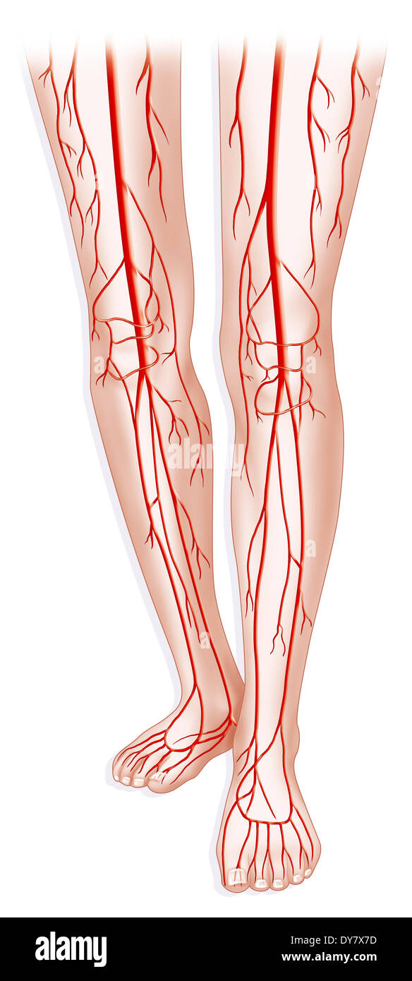 femoral artery blood flow - 584×1390